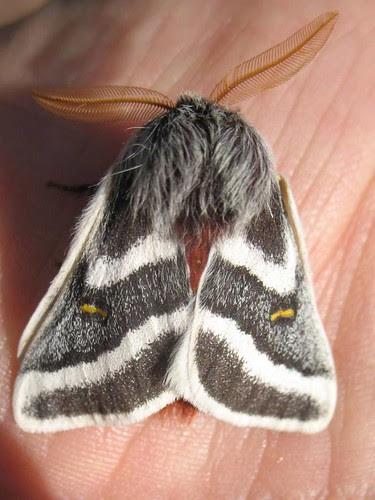 Hemileuca tricolor