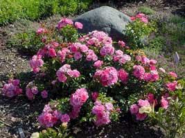 http://fichas.infojardin.com/foto-rosas/rosales-tapizantes.jpg