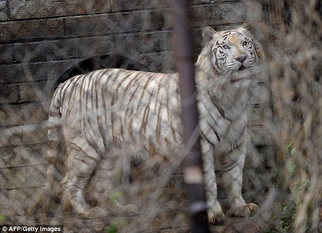 A middle-aged woman was killed instantly after she followed a younger woman out of a car at Badaling Wildlife World, north of Beijing, on Saturday, while the vehicle was in the tiger enclosure