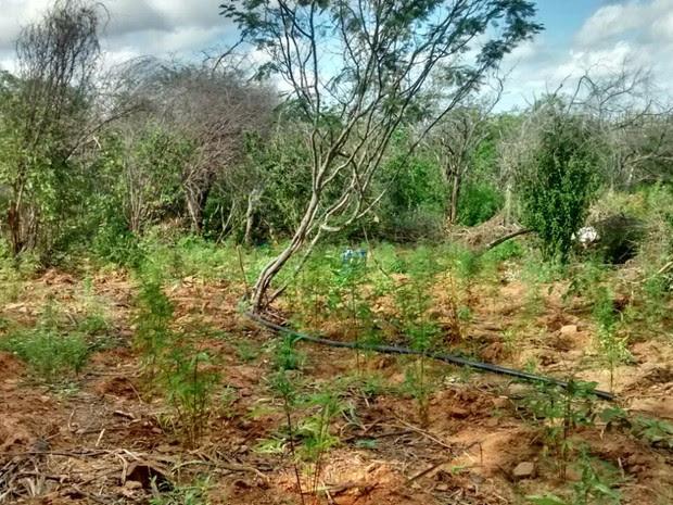 Polícia erradicou mais de 4.200 pés de maconha em Santa Maria da Boa Vista (Foto: Reprodução / Polícia Militar de Santa Maria da Boa Vista)