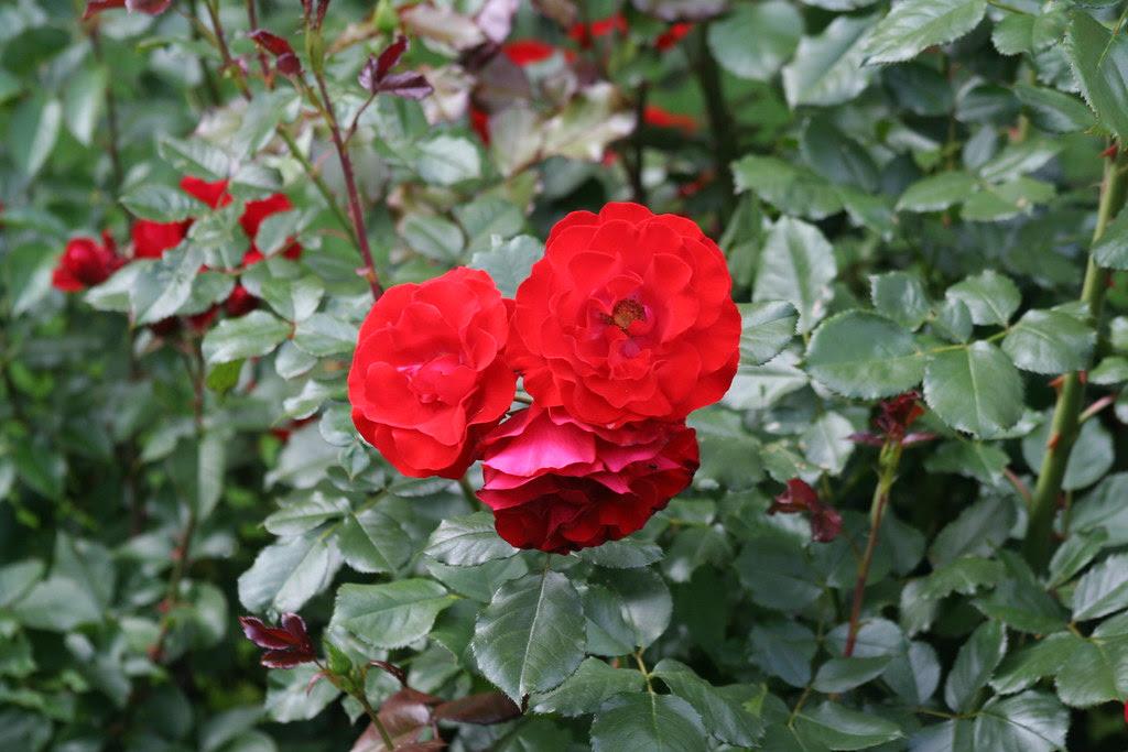 Rose i Virgental