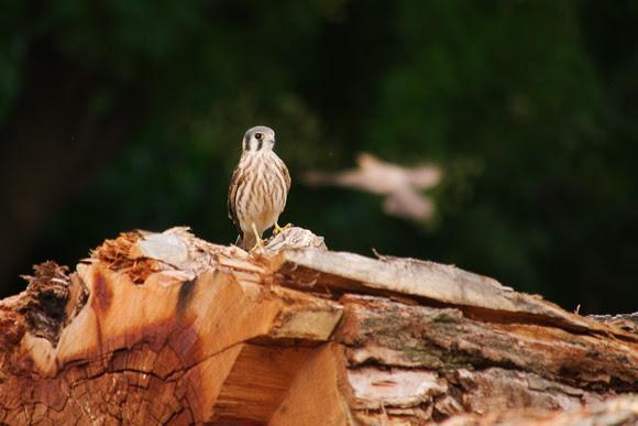 Ed Gaillard: birds &emdash; Juvenile American Kestrel, Central Park