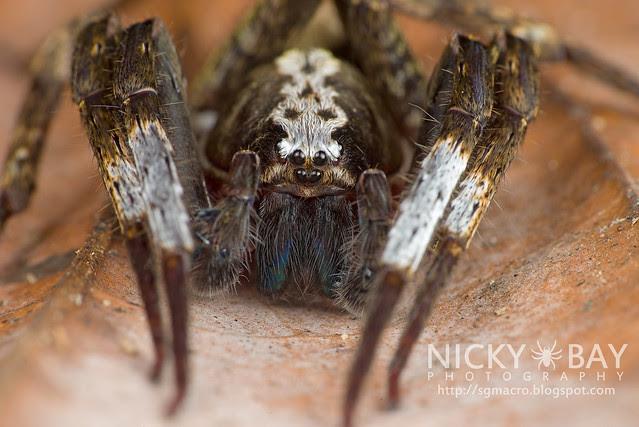 Wandering Spider (Ctenidae) - DSC_6443