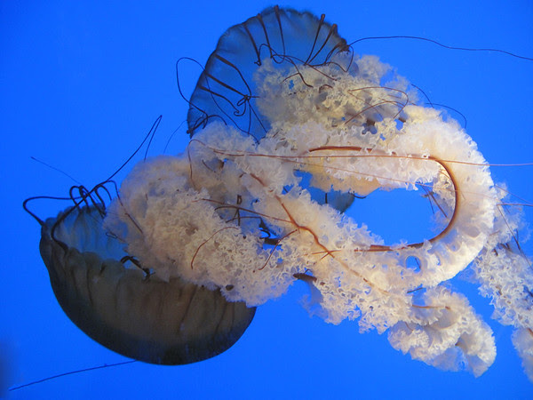 Atlantic Nettle
