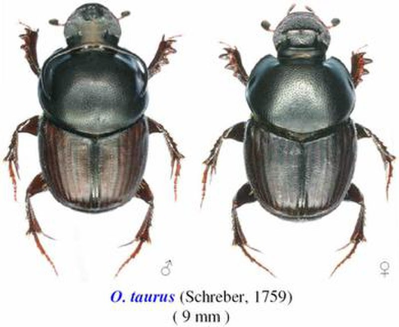 Onthophagus taurus male and female comparison.jpg