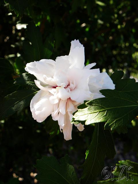 DSCN1816 Rose of Sharon