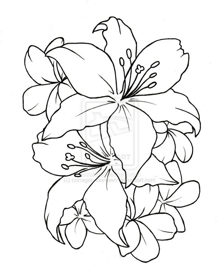Lily Tattoo Drawing At Getdrawingscom Free For Personal Use Lily