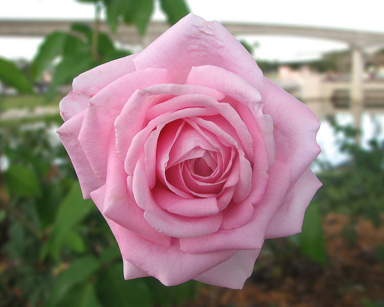 Ficheiro:Epcot rose.jpg