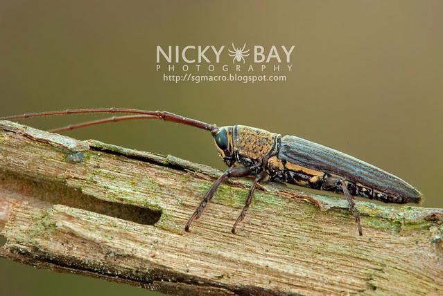 Longhorn Beetle (Cerambycidae) - DSC_7241
