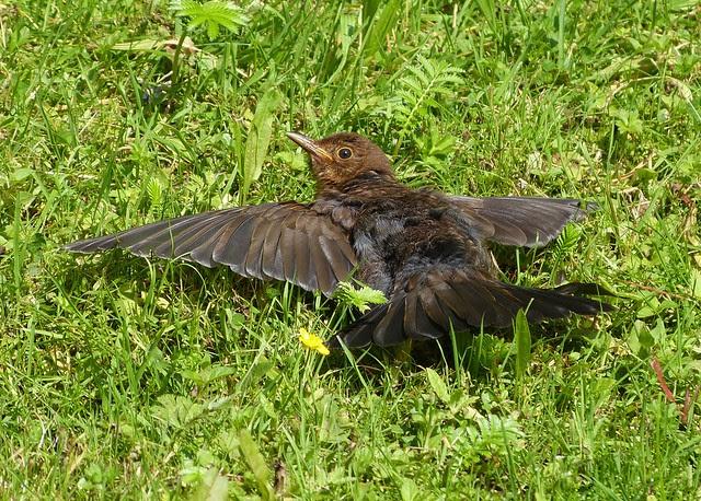 27570 - Sunbathing Blackbird, Llanelli WWT