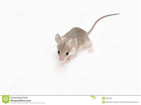 Little Mouse Stock Photography   Image: 6894422
