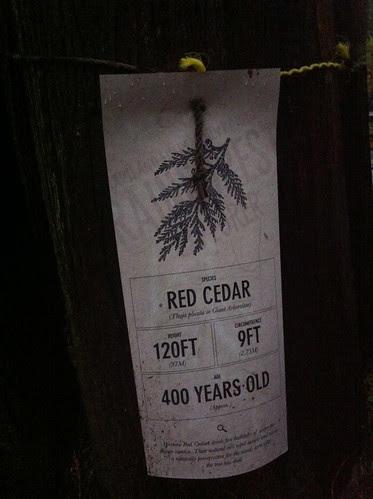 Red Cedar, 400yrs old by Ayala Moriel