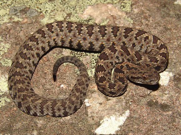 Resultado de imagem para Long-tail rattlesnake
