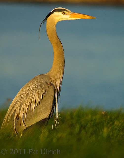 Sunset heron -- Pat Ulrich Wildlife Photography