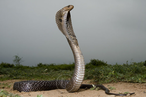 Majestic Indian Cobra !! by Captain Suresh