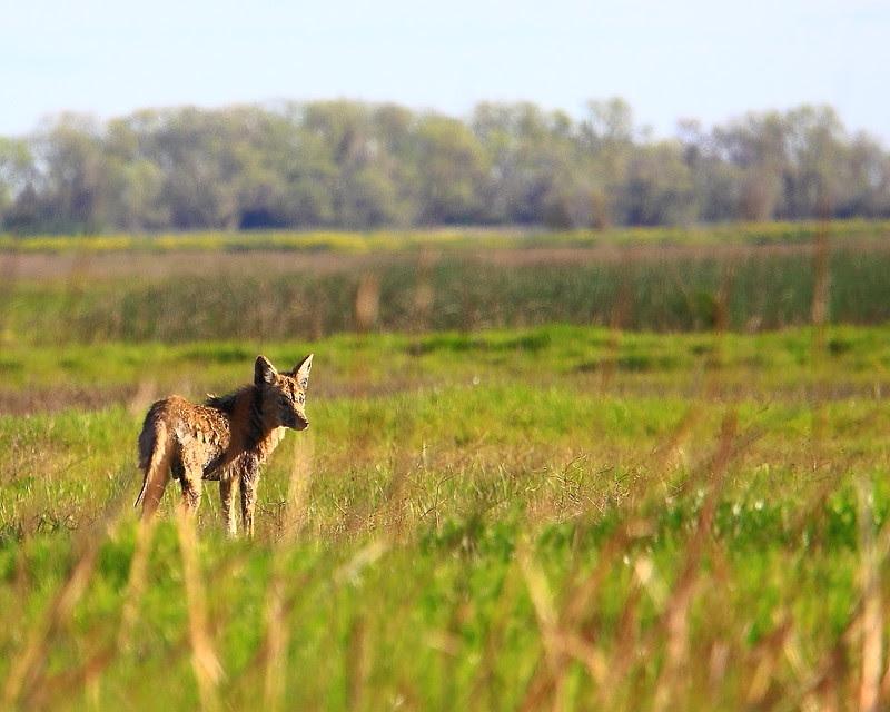 IMG_0839 Coyote, Sacramento National Wildlife Refuge