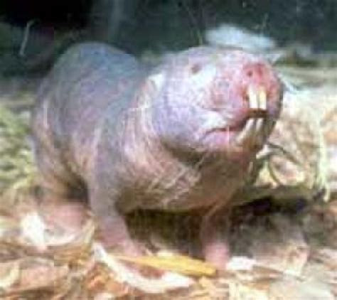 Ugly Duckling Mole Rats Might Hold Key To Longevity    ScienceDaily