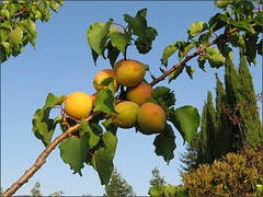 Apricot Sky