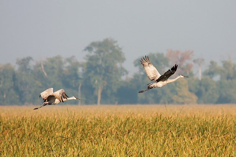File:Sandhill Cranes in flight 7960.jpg