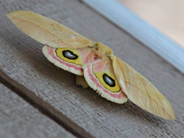 Io Moth 20130617