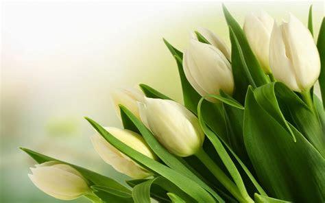 wallpaper tulip putih deloiz wallpaper