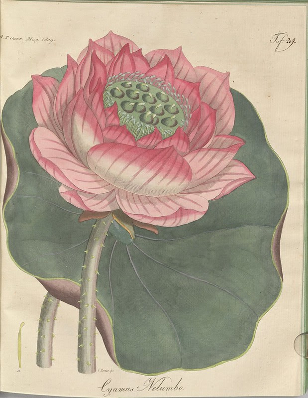 Cyamus nelumbo (hand-coloured botanical engraving courtesy kulturerbe niedersachsen)