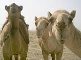 Three camels: Not an unreasonable offer