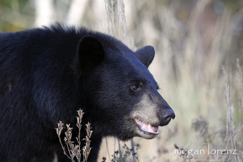 Big Black Bear by Megan Lorenz