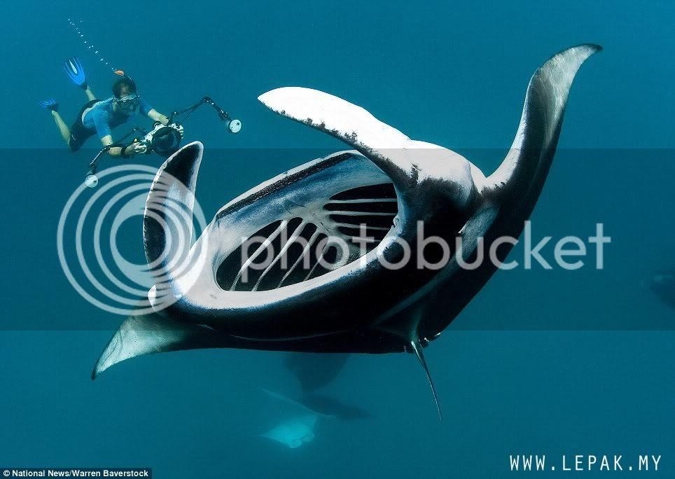 ikanparigergasi3 Gambar Ikan Pari Gergasi Terbesar Di Dunia