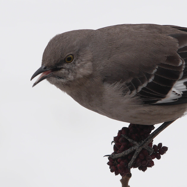 Ed Gaillard: birds &emdash; Northern Mockingbird, Randall's Island
