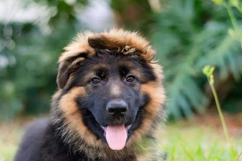 Buy German Shepherd Puppies For Sale Near Me In Tasmania Australia