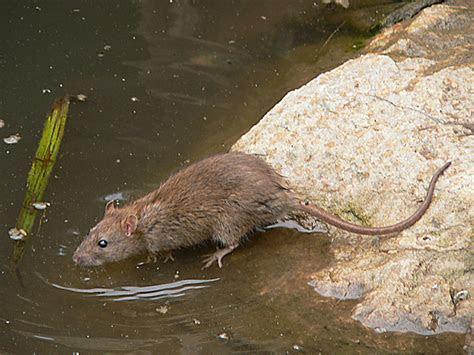 water rat   Naturally South Australia