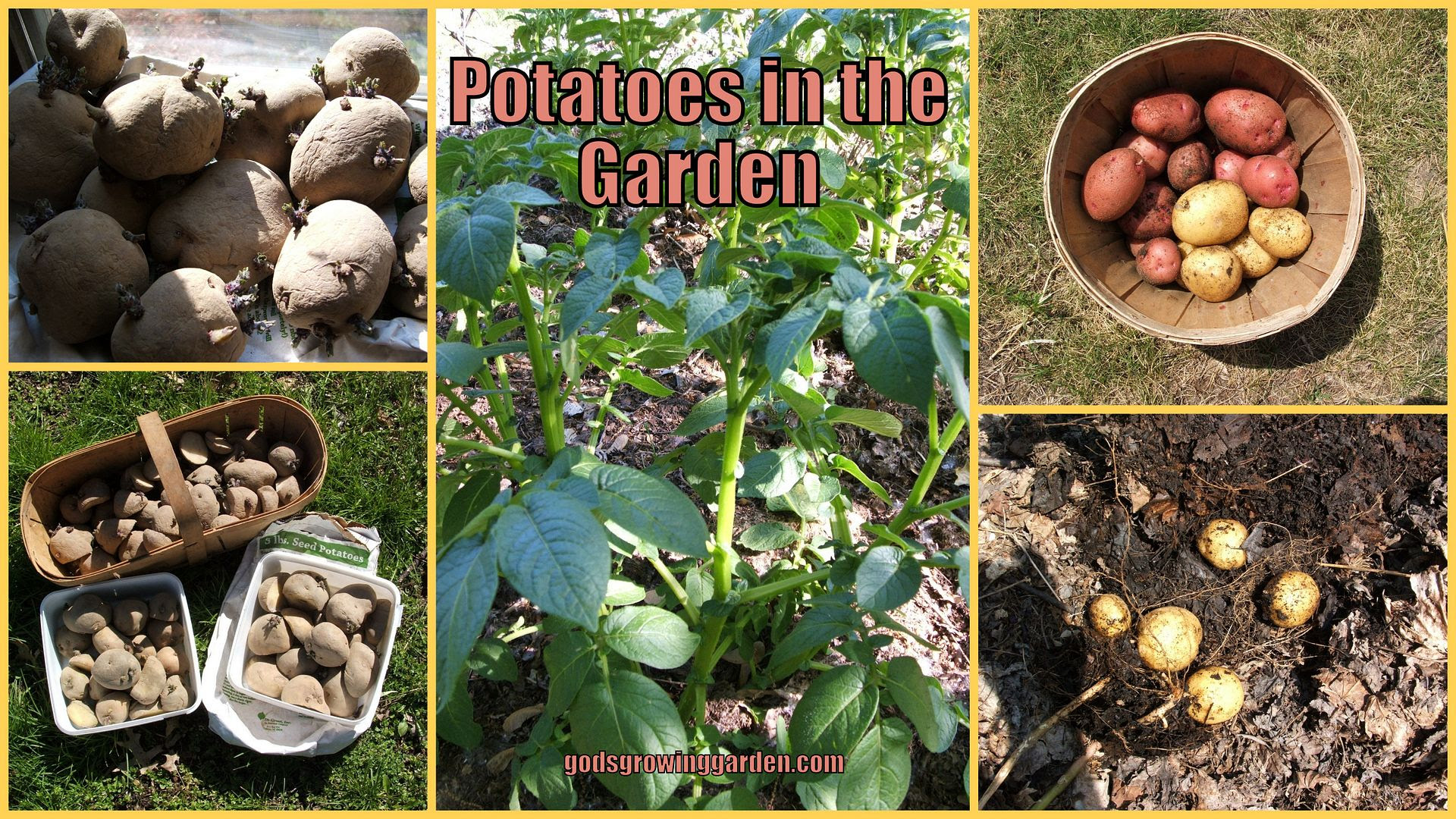 Potatoes by Angie Ouellette-Tower for godsgrowinggarden.com photo 2013-10-31_zpsaa16a33d.jpg