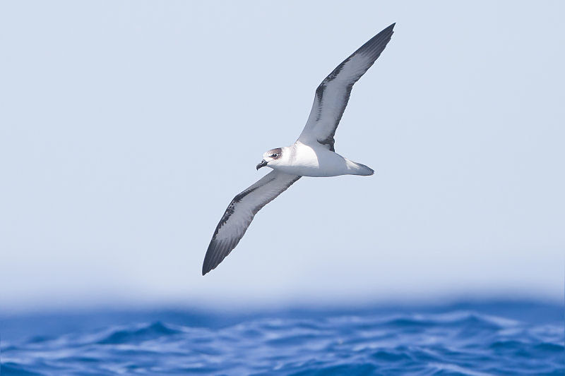 File:Pterodroma cervicalis - SE Tasmania.jpg