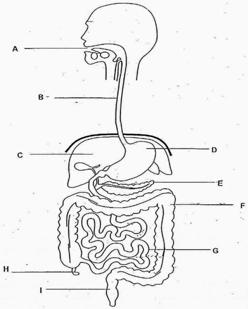 Human Digestive System Drawing at GetDrawings | Free download