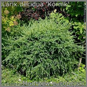 Larix decidua 'Kórnik' - Modrzew europejski