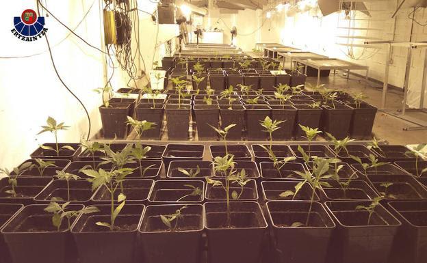 La plantación de marihuana desmantelada por la Ertzaintza/Ertzaintza