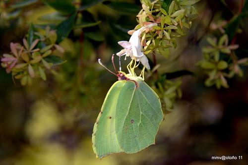 cleopatra o mariposa limonera (Gonepteryx sp) y abelia