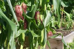 corn wasps 015