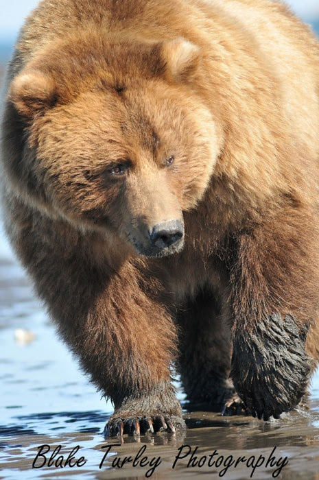 Bearsin the Alaskan wilderness  BEARS  Pinterest