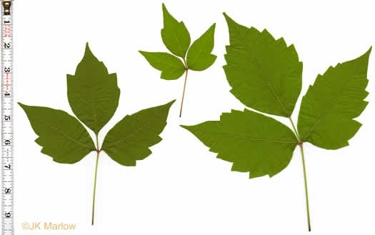 leaves of Poison Ivy and others confused with it: Toxicodendron radicans var. radicans, Toxicodendron radicans ssp. radicans, Rhus radicans