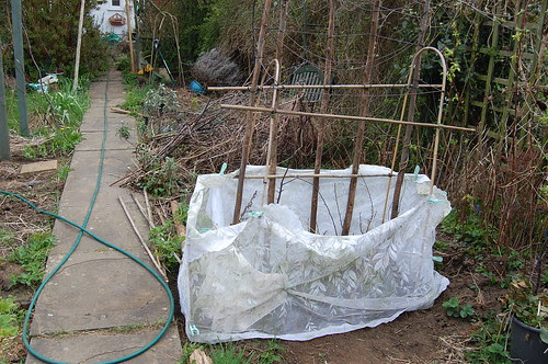 Protecting pea seedlings the cheap way