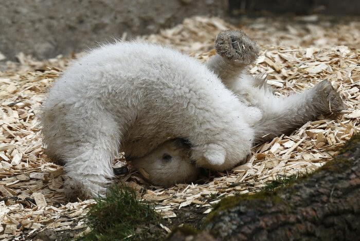 Les oursons de Munich explorent leur enclos