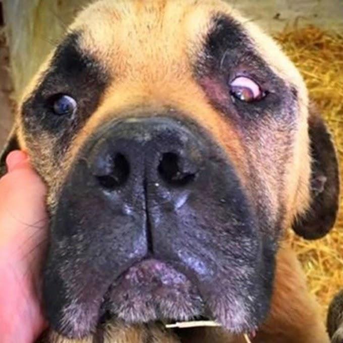 Rescatan a dos perros de manos de un dueño cruel, pero para Bruno fue demasiado tarde