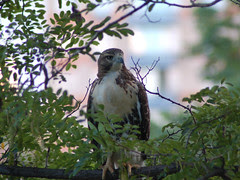 Divine Red-Tailed Hawks in Morningside Park