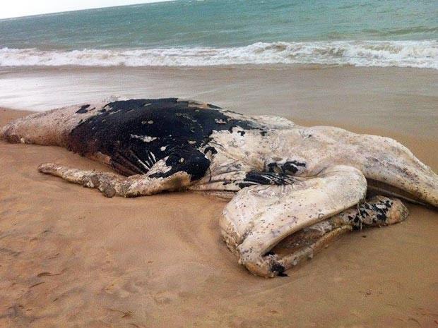 Baleia jubarte (Foto: André Lima/Secretaria de Meio Ambiente de Porto Seguro)