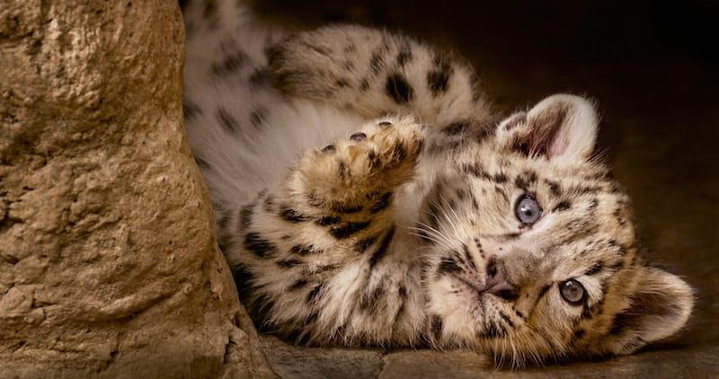 Snow Leopard, Born in China
