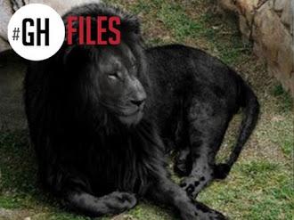 Último león negro en el Mundo - Explicación