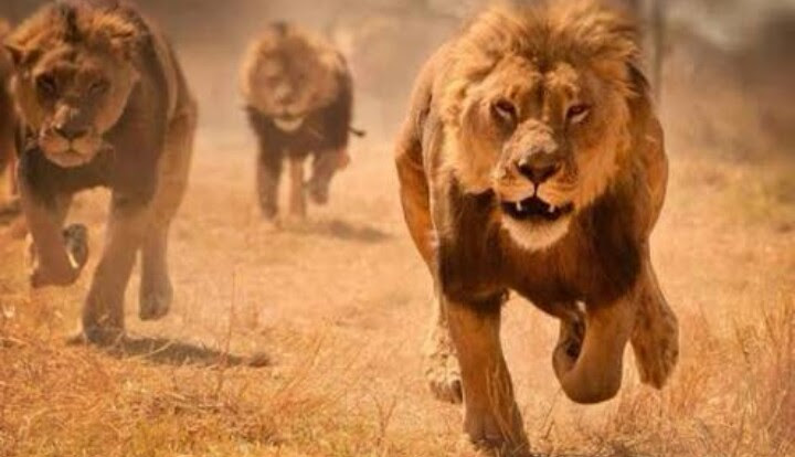 Resultado de imagen para Leones devoraron a cazador ilegal en reserva de Sudáfrica