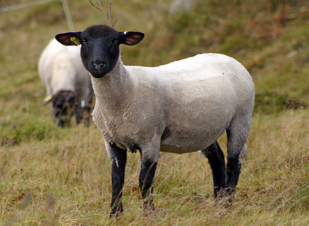 The Sheared Sheep